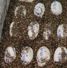 Incubation of Eggs